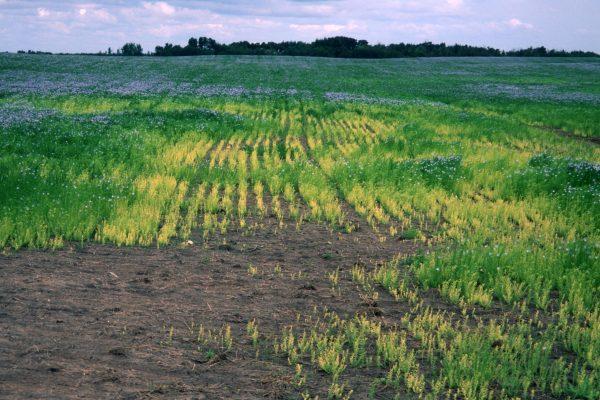 9-1-flax-chlorosis-general-view